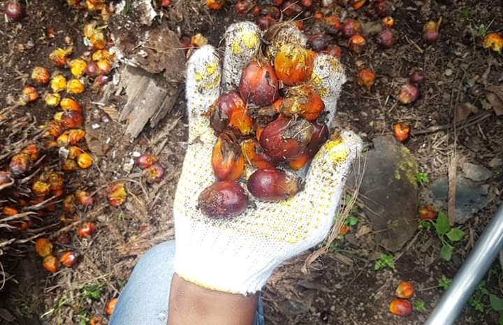 Red Palm Oil Boosts Your Immunity Against Covid-19…. Study